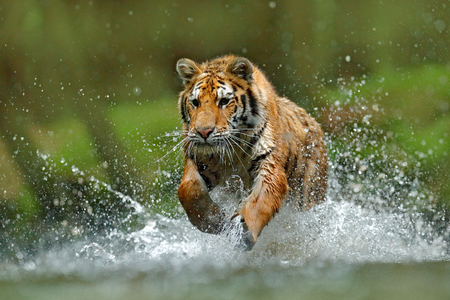 Tiger running in the water. Danger animal, tajga in Russia. Animal in the forest stream. Grey Stone, river droplet. Tiger with splash river water. Action wildlife scene with wild cat, nature habitat.  Stock Photo
