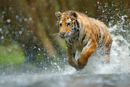 Tiger running in water. Danger animal, tajga in Russia. Animal in the forest stream. Grey Stone, river droplet. Tiger with splash river water. Tiger Action wildlife scene, wild cat, nature habitat.