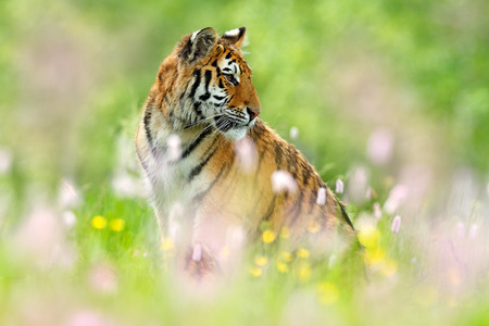 Tiger with pink and yellow flowers. Siberian tiger in beautiful habitat. Amur tiger sitting in the grass. Flowered meadow with danger animal. Wildlife Russia. Summer with tiger.