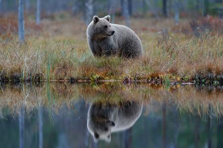 Grote bruine beer die rond meer in de ochtendzon loopt. Gevaarlijk dier in het bos. Wildlife scene uit Europa. Bruine vogel in de aardhabitat met water, Rusland. Draag met weerspiegeling in water. Stockfoto