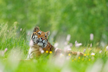 Tiger with pink and yellow flowers. Siberian tiger in beautiful habitat. Amur tiger sitting in the grass. Flowered meadow with danger animal. Wildlife China. Summer image with tiger.  Stock Photo