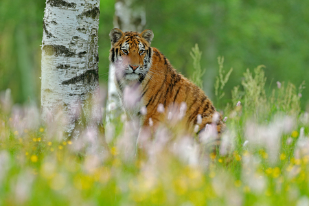Tiger with ping and yellow flowers. Siberian tiger in beautiful habitat. Amur tiger sitting in the grass. Action wildlife summer scene with danger animal. Tajga in Russia. Wild cat in nature, wildlife. Stock Photo