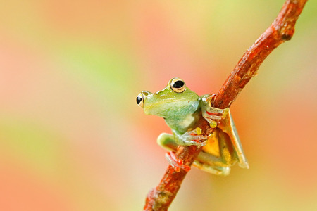 Tropic nature in forest. Olive Tree Frog, Scinax elaeochroa, sitting on big green leaf. Frog with big eye. Night behaviour in Costa Rica. Pink and light green background. Stock Photo