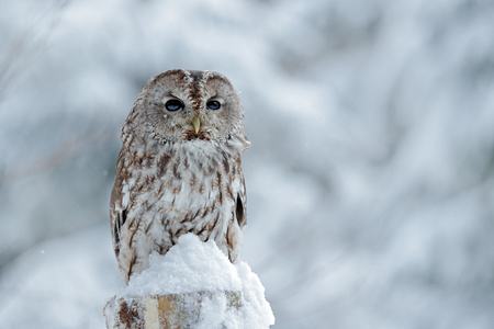 Tawny Owl snow covered in snowfall during winter, snowy forest in background, nature habitat. Wildlife scene from Slovakia. Cold winter forest with bird. Spruce trees with snow. Owl in winter forest.