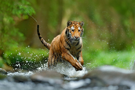 Tiger with splash river water. Tiger Action wildlife scene, wild cat, nature habitat. Tiger running in water. Danger animal, tajga in Russia. Animal in the forest stream. Grey Stone, river droplet.  Stock Photo