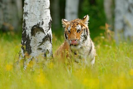 Summer with tiger, hidden in grass. Tiger with pink and yellow flowers. Siberian tiger in beautiful habitat. Amur tiger sitting in birch tree forest. Flowered meadow, danger animal. Wildlife Russia.