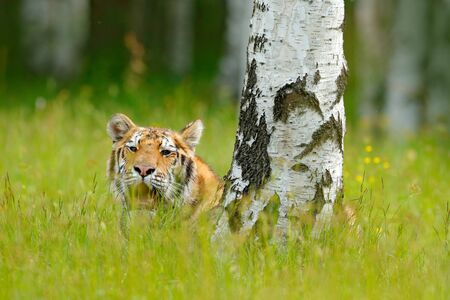 Summer with tiger, hidden in grass. Tiger with pink and yellow flowers. Siberian tiger in beautiful habitat. Amur tiger sitting in the grass. Flowered meadow with danger animal. Wildlife Russia.  Stock Photo