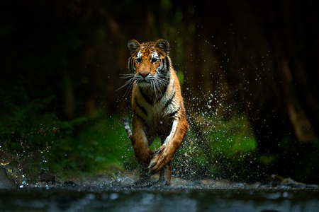 Tigre correndo na água. Animal de perigo, tajga na Rússia. Animal no córrego da floresta. Pedra cinzenta, gota do rio. Tigre de Amur com água do rio do respingo. Floresta escura com tigre. Foto de archivo
