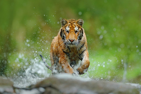 Tiger with splash river water. Action wildlife scene with wild cat in nature habitat. Tiger running in the water. Danger animal, tajga in Russia. Animal in the forest stream. Stone in river droplet.