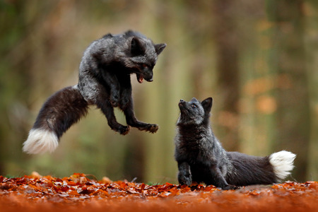 Black silver fox. Two red fox playing in autumn forest. Animal jump in fall wood. Wildlife scene from tropic wild nature. Pair of mammals fight.