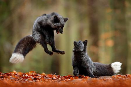 Czarny lis srebrny. Dwa rude lisy bawiące się w lesie jesienią. Skok zwierząt w jesiennym drewnie. Scena dzikiej przyrody z tropikalnej dzikiej przyrody. Para ssaków walczy.
