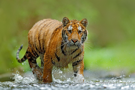 Tiger with splash river water. Tiger action wildlife scene, wild cat, nature habitat. Tiger running in water. Danger animal, tajga in Russia. Animal in the forest stream. Grey stone, river droplet.  스톡 콘텐츠