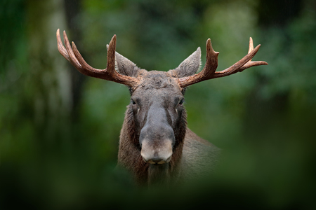Detail portrait of elk, moose. Moose, North America, or Eurasian elk, Eurasia, Alces alces in the dark forest during rainy day. Beautiful animal in the nature habitat. Wildlife scene from Sweden.