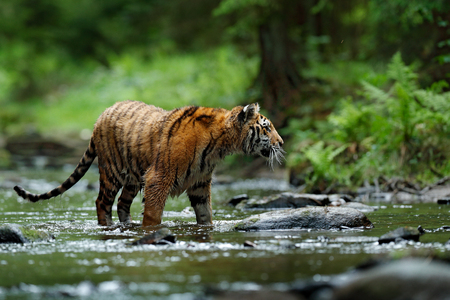 Tiger in the river. Tiger action wildlife scene, wild cat, nature habitat. Tiger running in water. Danger animal, tajga in China. Wild cat in the forest habitat.