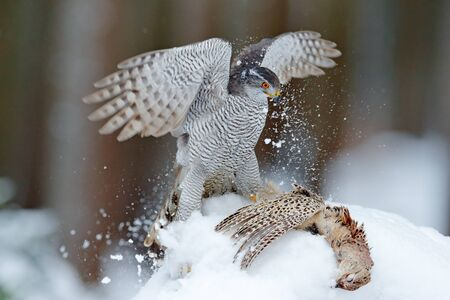 Bird of prey Goshawk bird and sitting on the snow meadow with open wings, blurred snowy forest in background. Wildlife scene from Germany nature. Bird with catch pheasant.