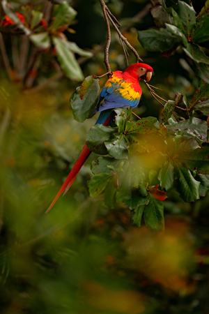 Scarlet Macaw, Ara macao, in dark green tropical forest, Costa Rica, Wildlife scene from tropic nature. Red bird in the forest. Parrot in the green jungle habitat. Red parrot in green vegetation.  Imagens