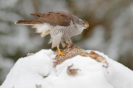Bird with catch pheasant. Bird of prey Goshawk bird and sitting on the snow meadow with open wings, blurred snowy forest in background. Wildlife scene from Germany nature. Snowy winter in nature.