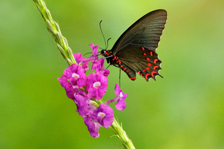 Butterfly sitting on pink blooming flower. Common Mormon, Papilio polytes, beautiful butterfly from Costa Rica and Panama. Beautiful butterfly in nature green forest habitat.