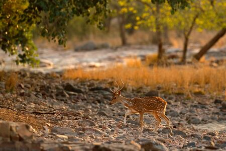 Chital or cheetal, Axis axis, spotted deer or axis deer, nature habitat. Bellow majestic powerful adult animal in stone rock water pond. Deer hidden in grass, big animal, Asia. India wildlife.  Stock Photo