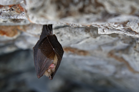 Lesser horseshoe bat, Rhinolophus hipposideros, in the nature cave habitat, Cesky kras, Czech. Underground animal sitting on stone. Wildlife scene from grey rock tunnel. Night bat, Winter hibernate. 版權商用圖片 - 92604709