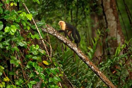 Green wildlife of Costa Rica. Black monkey White-headed Capuchin sitting on the tree branch in the dark tropic forest. Cebus capucinus in gree tropic vegetation. Animal in the nature habitat. Stock Photo