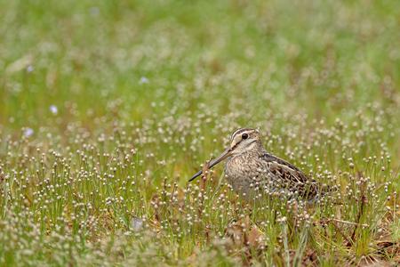 Pin-tailed snipe or pintail snipe ,Gallinago stenura, Sri Lanka, Asia. Bird in the grass. Stock Photo
