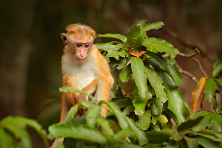 Toque macaque, Macaca sinica, monkey with evening sun. Macaque in nature habitat, Sri Lanka. Detail of monkey, Wildlife scene from Asia. Beautiful colour forest background. Macaque in the forest.