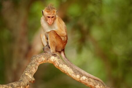 Toque macaque, Macaca sinica. Monkrey on the tree. Macaque in nature habitat, Sri Lanka. Detail of monkey, Wildlife scene from Asia. Beautiful colour forest background. Macaque in the dark forest. Stock Photo
