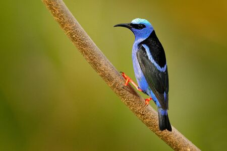 Red-legged Honeycreeper, Cyanerpes cyaneus, exotic tropic blue bird with red leg from Costa Rica. Tinny songbird in the nature habitat. Colour bird in the forest. Tanager birdwatching in South America.