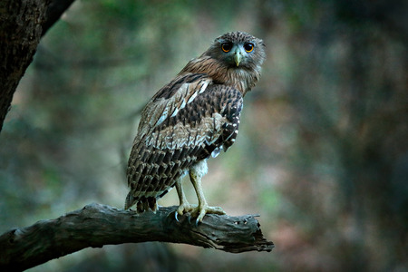 Brown Fish-owl, Ketupa zeylonensis, rare bird from Asia. India beautiful owl in the nature forest habitat. Bird from Ranthambore, India. Fish owl sitting on the branch in the dark green tropic forest.