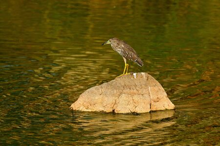 Night heron, Nycticorax nycticorax, grey water bird sitting in the stone coast, blue sea with in the background, Ranthambore, India, Asia. Stock Photo