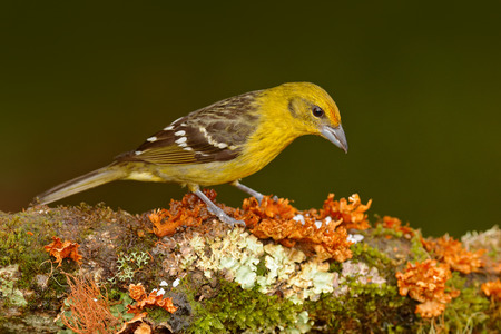 Female Yellow bird Flame-colored Tanager, Piranga bidentata, Savegre, Costa Rica. Bird sitting in the dark forest. Birdwatching in South America. Tanager from Costa Rica. Wildlife scene from nature.