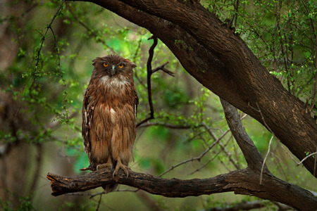 Brown Fish-owl, Ketupa zeylonensis, rare bird from Asia. India beautiful owl in nature forest habitat. Bird from Ranthambore, India. Fish owl sitting on the branch in the dark green tropic forest. Stock Photo