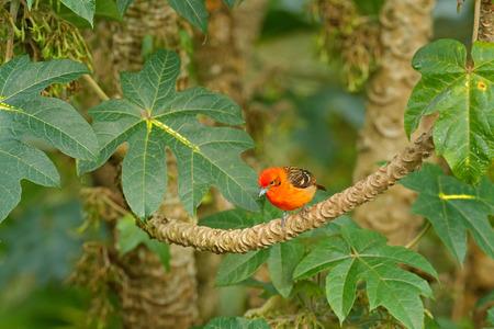 Orange bird Flame-colored Tanager, Piranga bidentata, Boca Tapad, Costa Rica. Beautiful bird in the nature habitat. Animal in the forest. Wildlife scene from tropic nature.