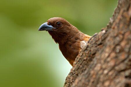 Rufous Treepie, Dendrocitta vagabunda, detail portrait of bird from Ranthambore, India forest, tree branch. Wildlife scene with India birds, art view of nature, green vegetation. Bird be peeping out. Stock Photo