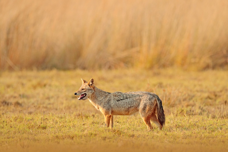 Golden Jackal, Canis aureus. Jackal with evening sun and animal bone in geass, Sri Lanka, Asia. Beautiful wildlife scene from nature habitat with nice nice sun light. Wildlife of Sri Lanka. Standard-Bild