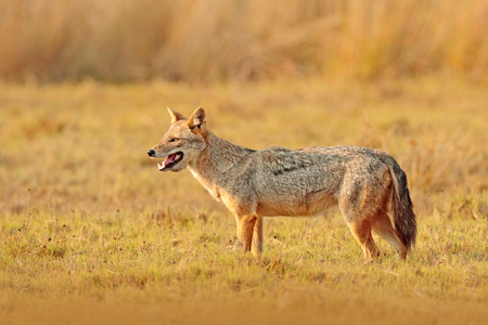 Golden Jackal, Canis aureus. Jackal with evening sun and animal bone in geass, Sri Lanka, Asia.