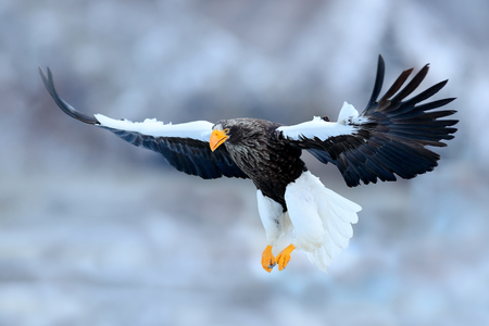 Flying rare eagle. Steller's sea eagle, Haliaeetus pelagicus, flying bird of prey, with blue sky in background, Hokkaido, Japan. Eagle with nature mountain habitat. Winter scene with snow and eagle.