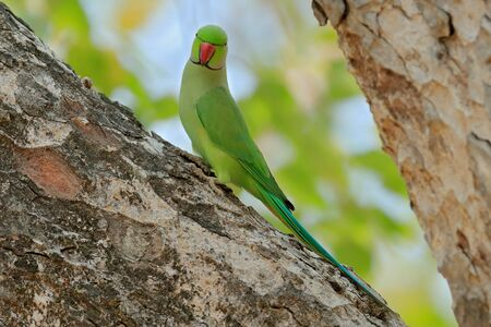 Nesting Rose-ringed Parakeet, Psittacula krameri, beautiful parrot in the nature green forest habitat, Sri Lanka, Asia. Parrot in in green forest. Green bird sitting on tree trunk with nest hole. Stock Photo