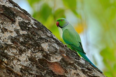 Green bird sitting on tree trunk with nest hole. Nesting Rose-ringed Parakeet, Psittacula krameri, beautiful parrot in the nature green forest habitat, Sri Lanka, Asia. Parrot in in green forest.