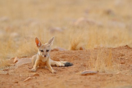 Indian Fox, Vulpes bengalensis, Ranthambore National Park, India. Wild animal in nature habitat. Fox near nest ground hole. Wildlife Asia. Wild dog with big ears. Dry season in India. Bengal Fox. Stock Photo