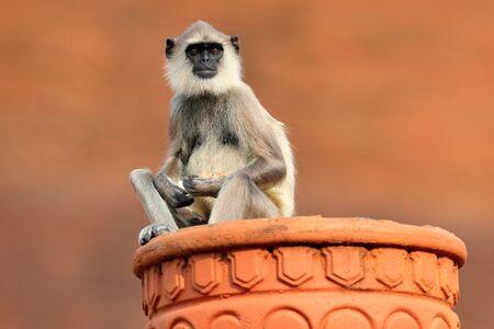 Common Langur, Semnopithecus entellus, monkey on the orange brick building, nature habitat, Sri Lanka. Urban wildlife. Monkey with long tail. Wildlife of Sri Lanka. Monkey sitting in the flowerpot. Stock Photo