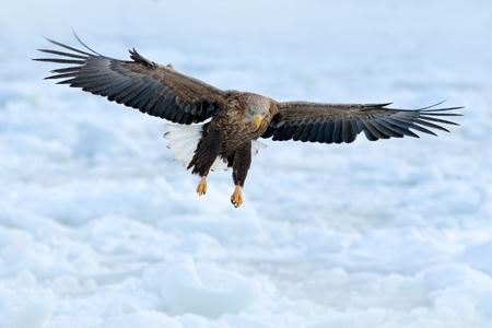 Eagle fly above the sea ice. Winter scene with bird of prey. Big eagles, snow sea. Flight White-tailed eagle, Haliaeetus albicilla, Hokkaido, Japan. Action wildlife scene with white cold ice.