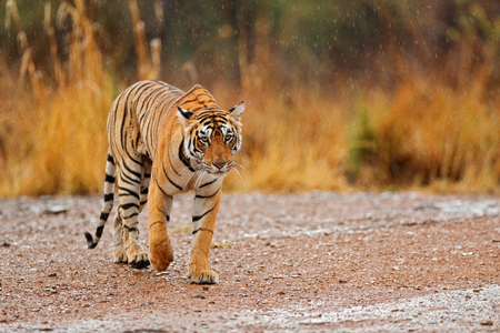 Tiger walking on the gravel road. Wildlife India. Indian tiger with first rain, wild animal in the nature habitat, Ranthambore, India. Big cat, endangered animal. End of dry season, beginning monsoon.