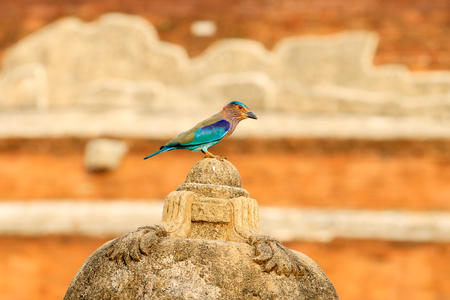 Roller sitting on the stone  with orange background. Birdwatching in Asia. Beautiful colour bird in the nature habitat. Detail of bird. Indian Roller from Sri Lanka. Nice colour light blue bird Indian.