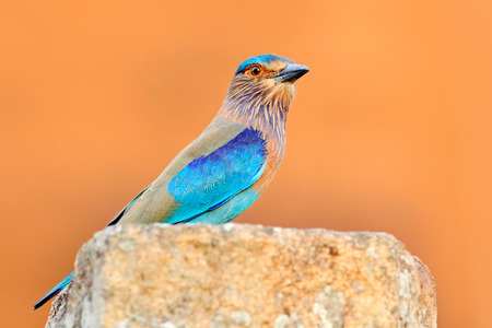 Nice colour light blue bird Indian Roller sitting on the stone  with orange background. Birdwatching in Asia. Beautiful colour bird in the nature habitat. Detail of bird. Indian Roller from Sri Lanka.
