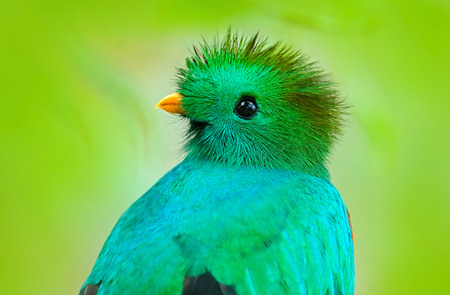 Resplendent Quetzal, Pharomachrus mocinno, from Guatemala with blurred green forest foreground and background. Magnificent sacred green and red bird. Detail portrait Resplendent Quetzal. Green trogon. Stock Photo
