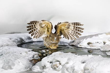 Blakiston's fish owl, Bubo blakistoni, largest living species of owl, fish owl, a sub-group of eagle. Bird hunting in cold water. Wildlife scene, winter Hokkaido, Japan. River bird with open wings. Reklamní fotografie