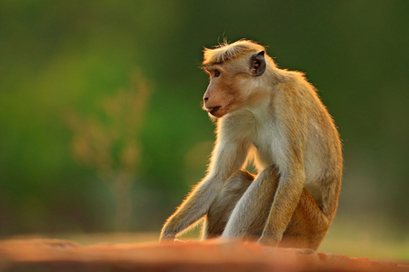 Toque macaque, Macaca sinica, monkey with evening sun. Macaque in nature habitat, Sri Lanka. Detail of monkey, Widlife scene from Asia. Beautiful forest background. Monkey hidden in the grass.  Stock Photo