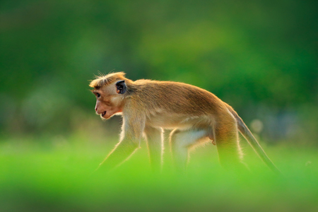 Monkey hidden in the grass. Toque macaque, Macaca sinica, monkey with evening sun. Macaque in nature habitat, Sri Lanka. Detail of monkey, Widlife scene from Asia. Beautiful forest background.